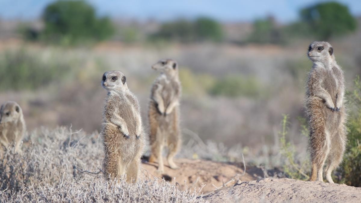 Stokstaartjes meerkat safari in Oudtshoorn, Zuid-Afrika